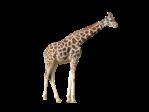 giraffe simple