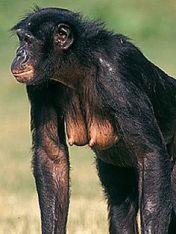 bonobo tits
